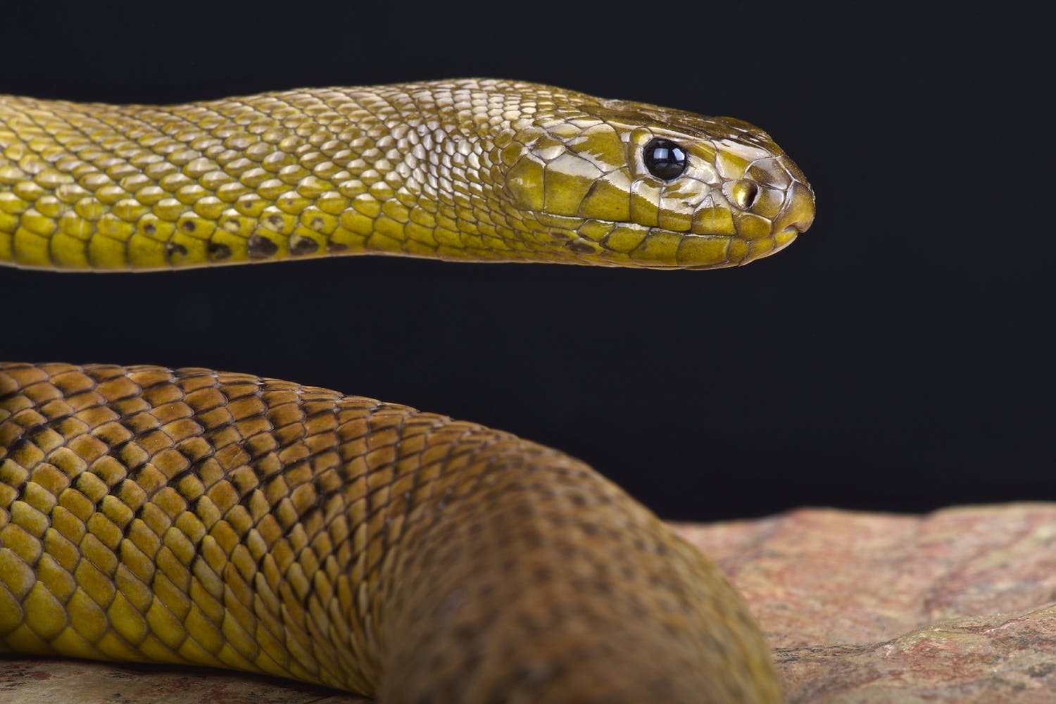 Australian Snake Photos Pictures Images
