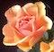 Rosenhjerte