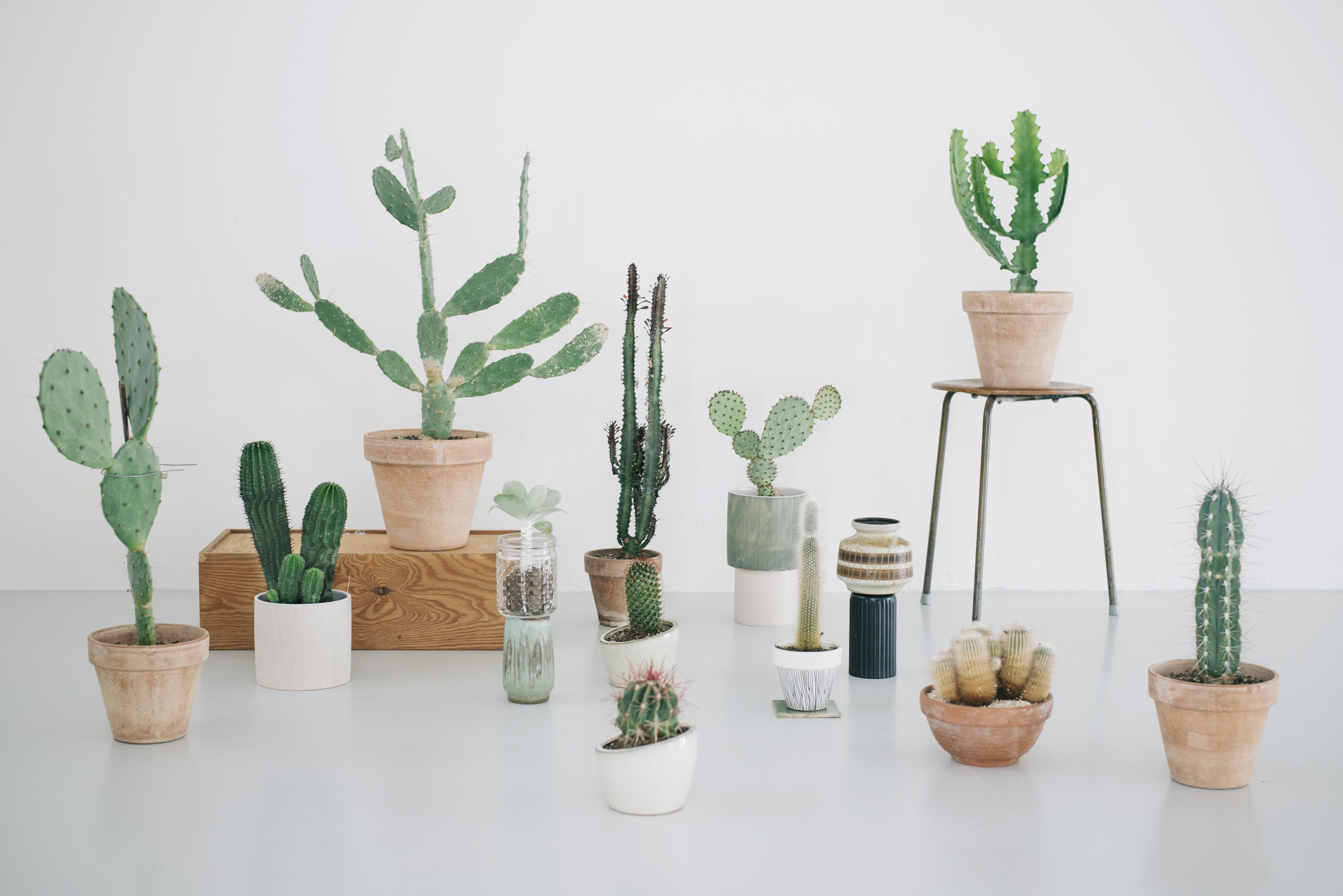 kaktus s dan passer du din plante. Black Bedroom Furniture Sets. Home Design Ideas