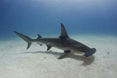 dyr sjodyr haier haier fa oversikt over haiarter fra hvithai til hvalhai