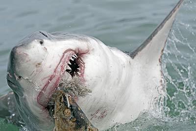 Haaien Een Overzicht Over Haaien Van Witte Haai Tot