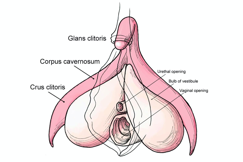 er klitoris en penis