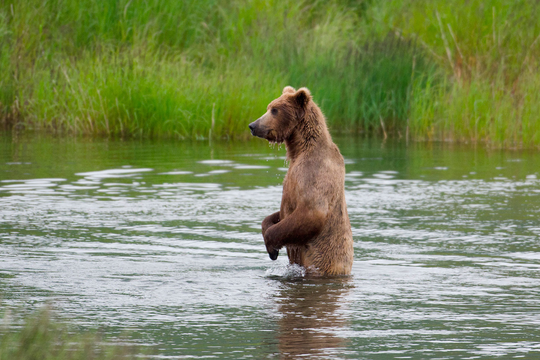 Björn lufsar runt på två ben Illvet se