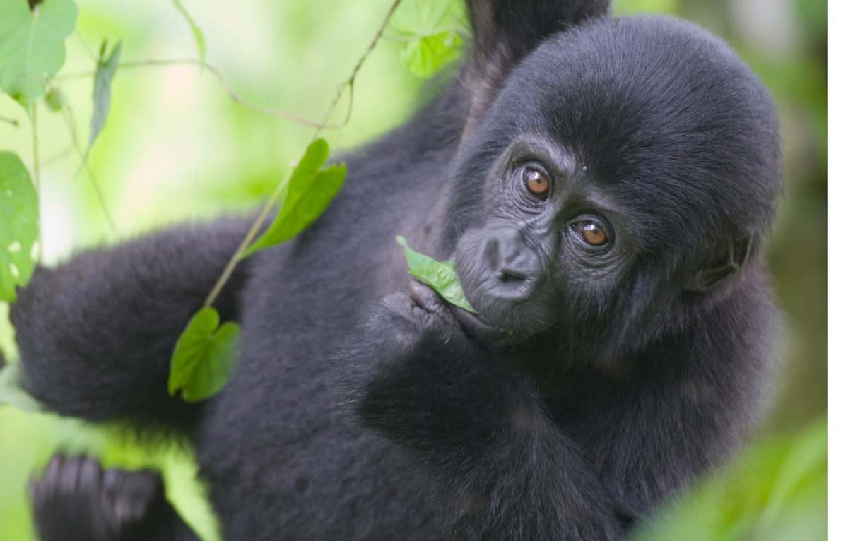 hvor stærk er en gorilla
