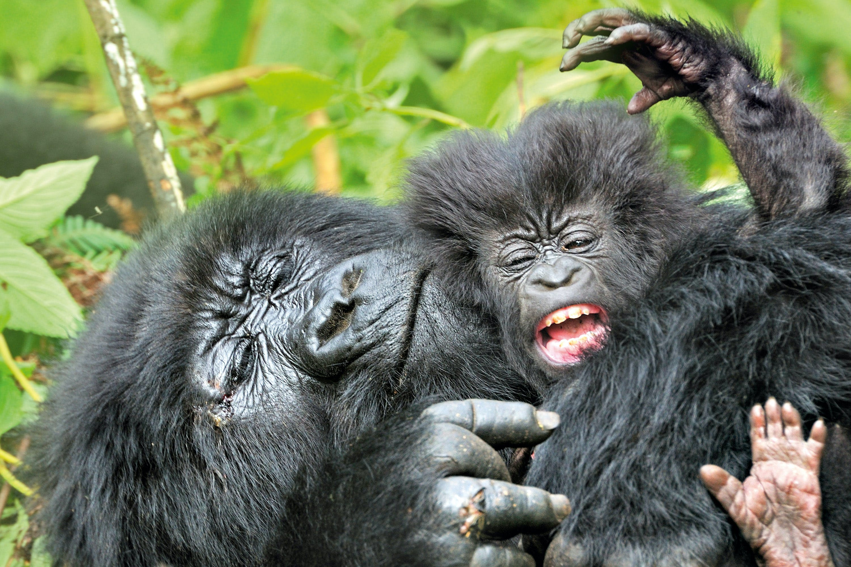 eskorte voksen gorilla