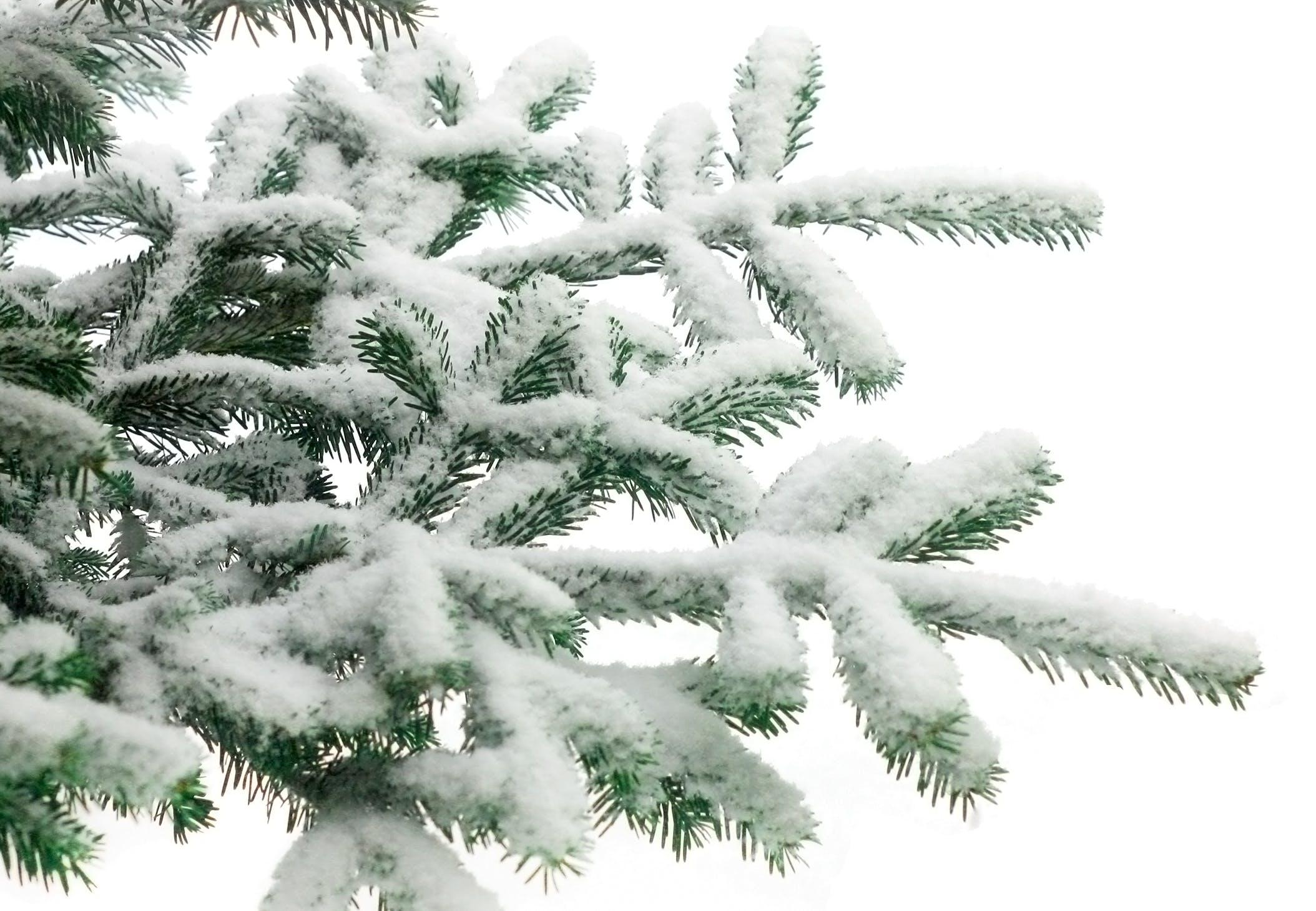 Hvor mange nåler er det på et juletre? | Illvit.no