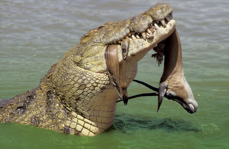 krokodille arter