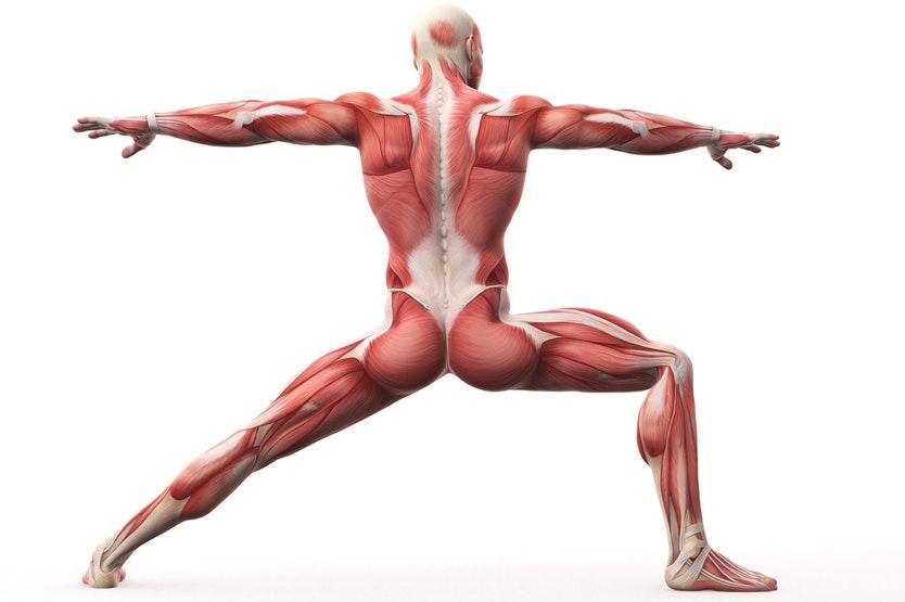 hvad er muskler