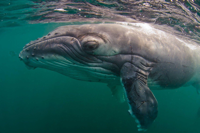 dyr havdyr hvaler delfinmor synger for sin ufoedte baby
