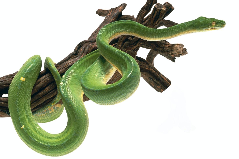 lægger slanger æg