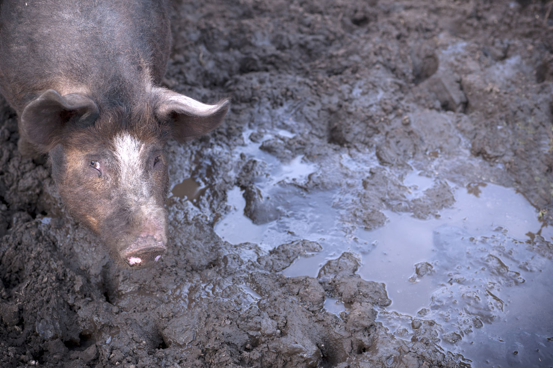 hvorfor spiser muslimer ikke svin