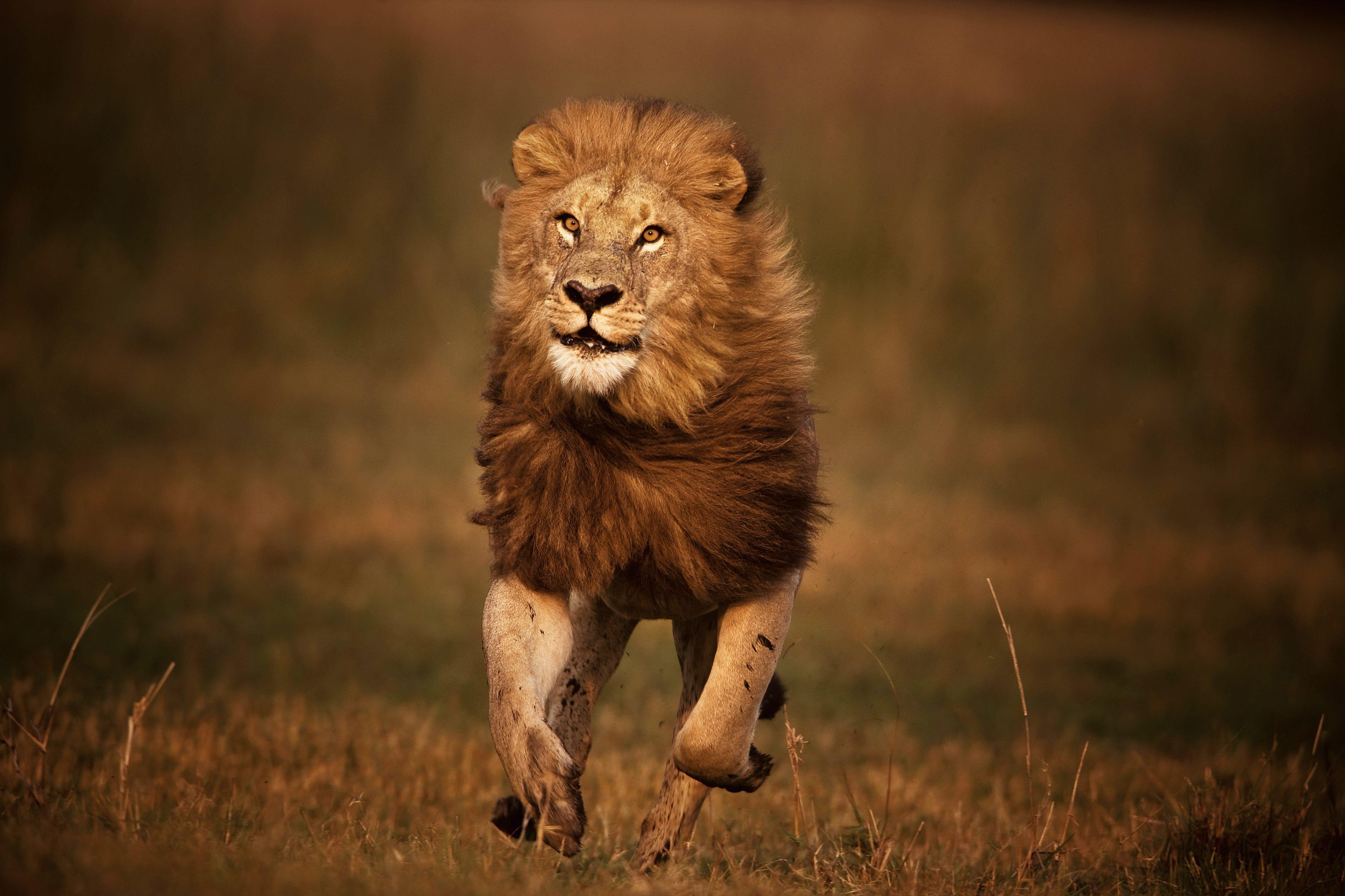 løve   Natgeo.dk