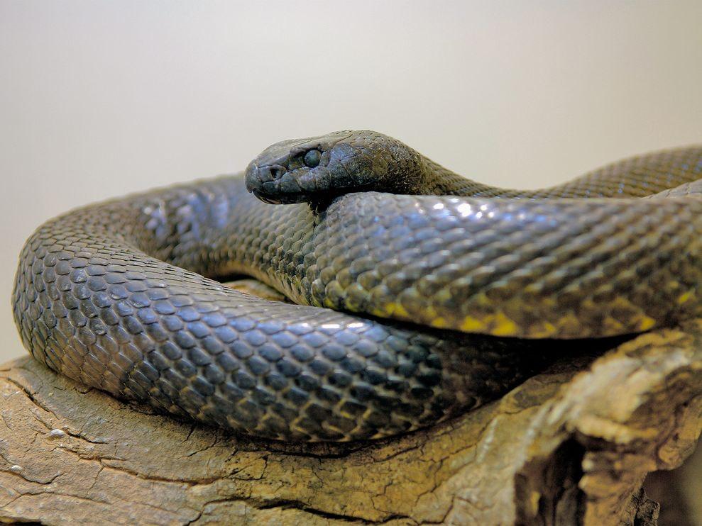 taipan slange