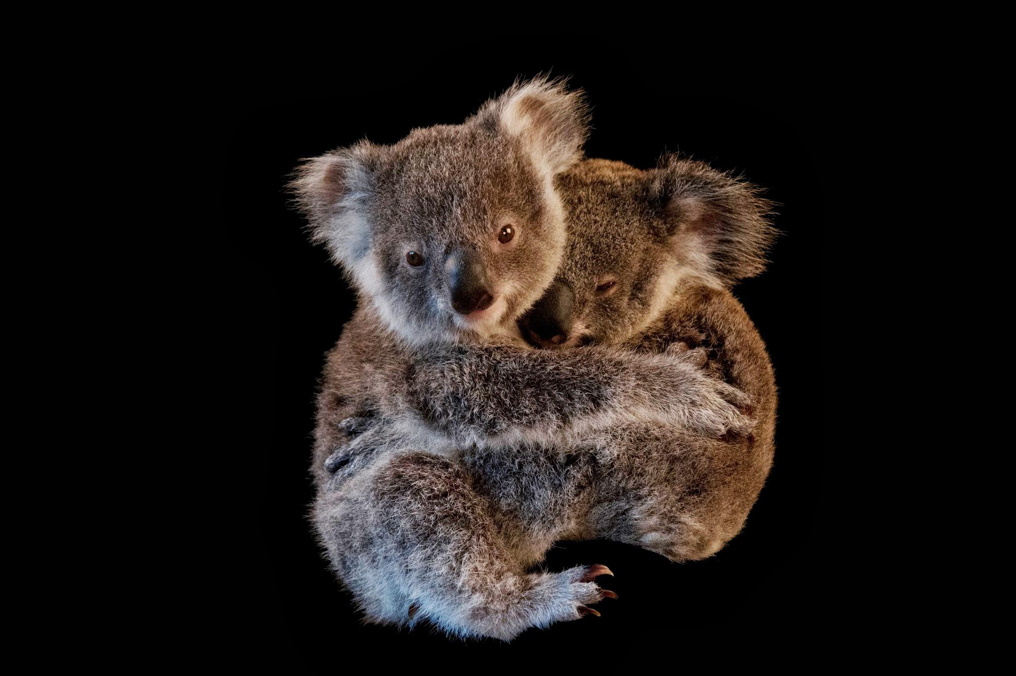 fakta om koala