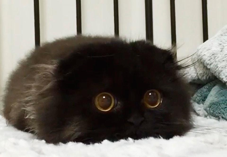 verdens største kat