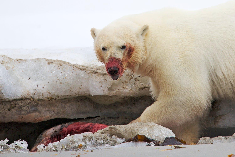 De Ijsbeer Is Een Arctische Moordmachine Wibnet Nl