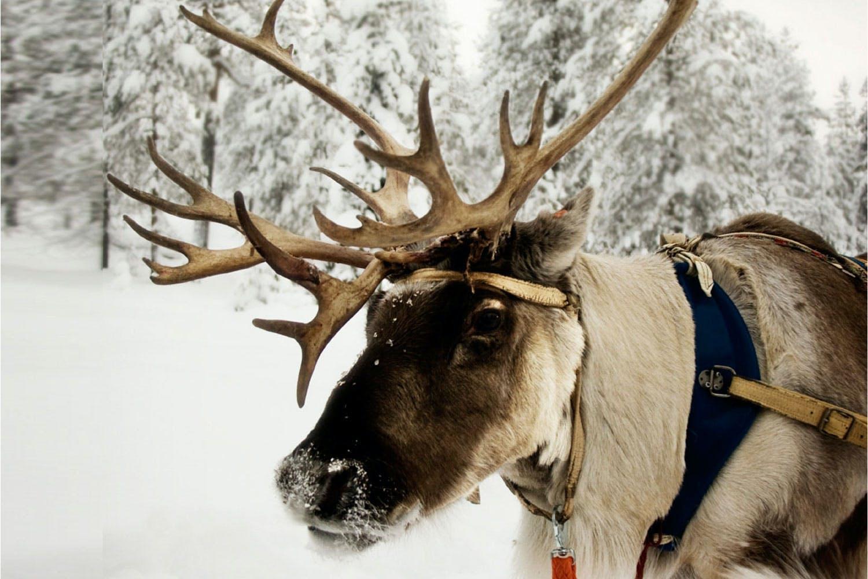 Waarom Heet Rudolph The Red Nosed Reindeer Zo Historianetnl