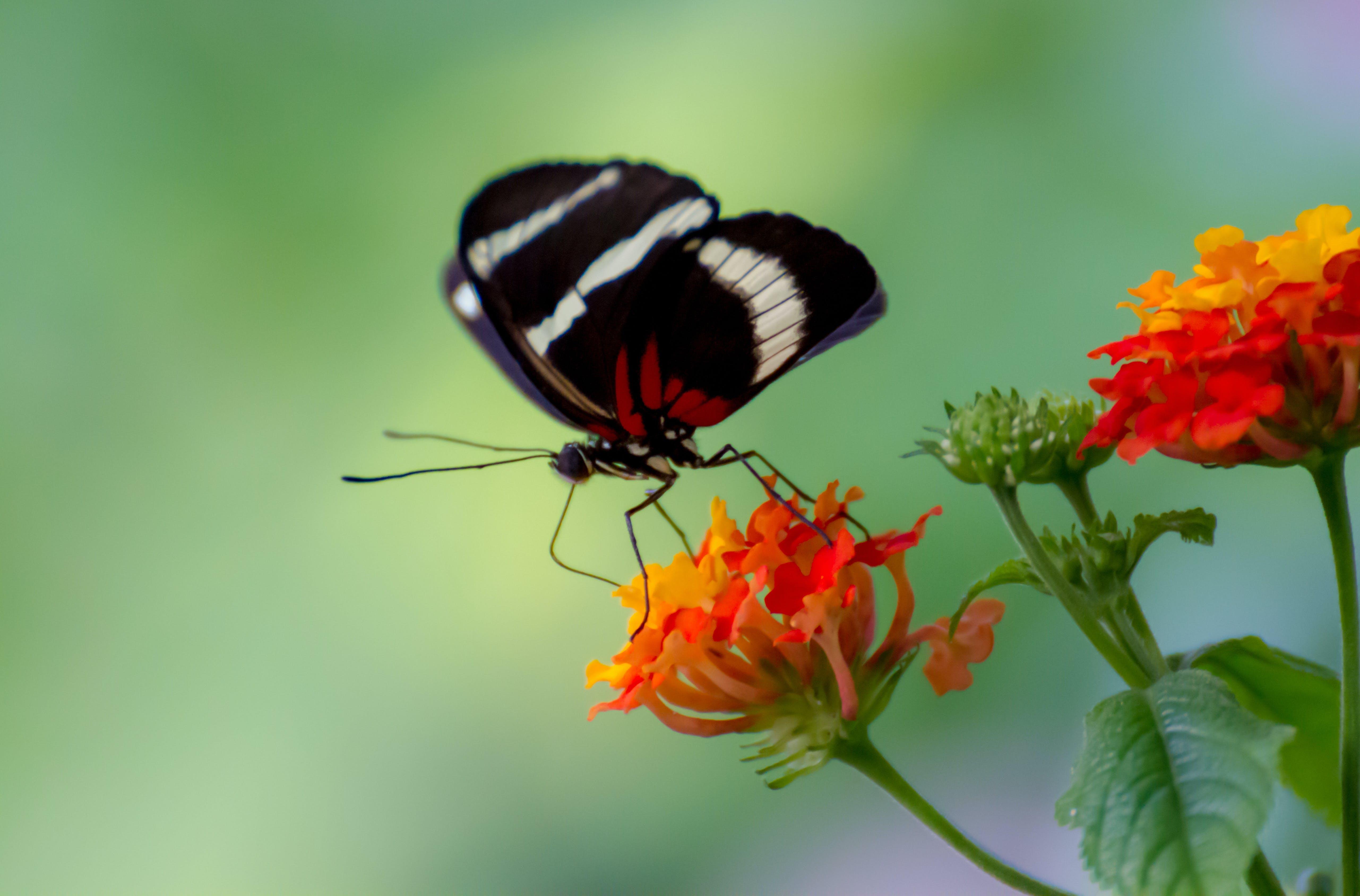 makrobillede af sommerfugl og blomst
