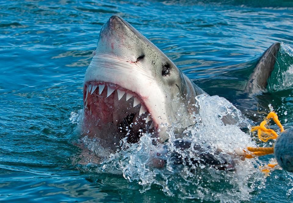 hvor stor er en haier penis
